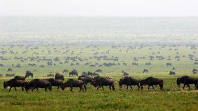 Wildebeest herds