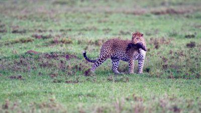 Leopard with baby warthog