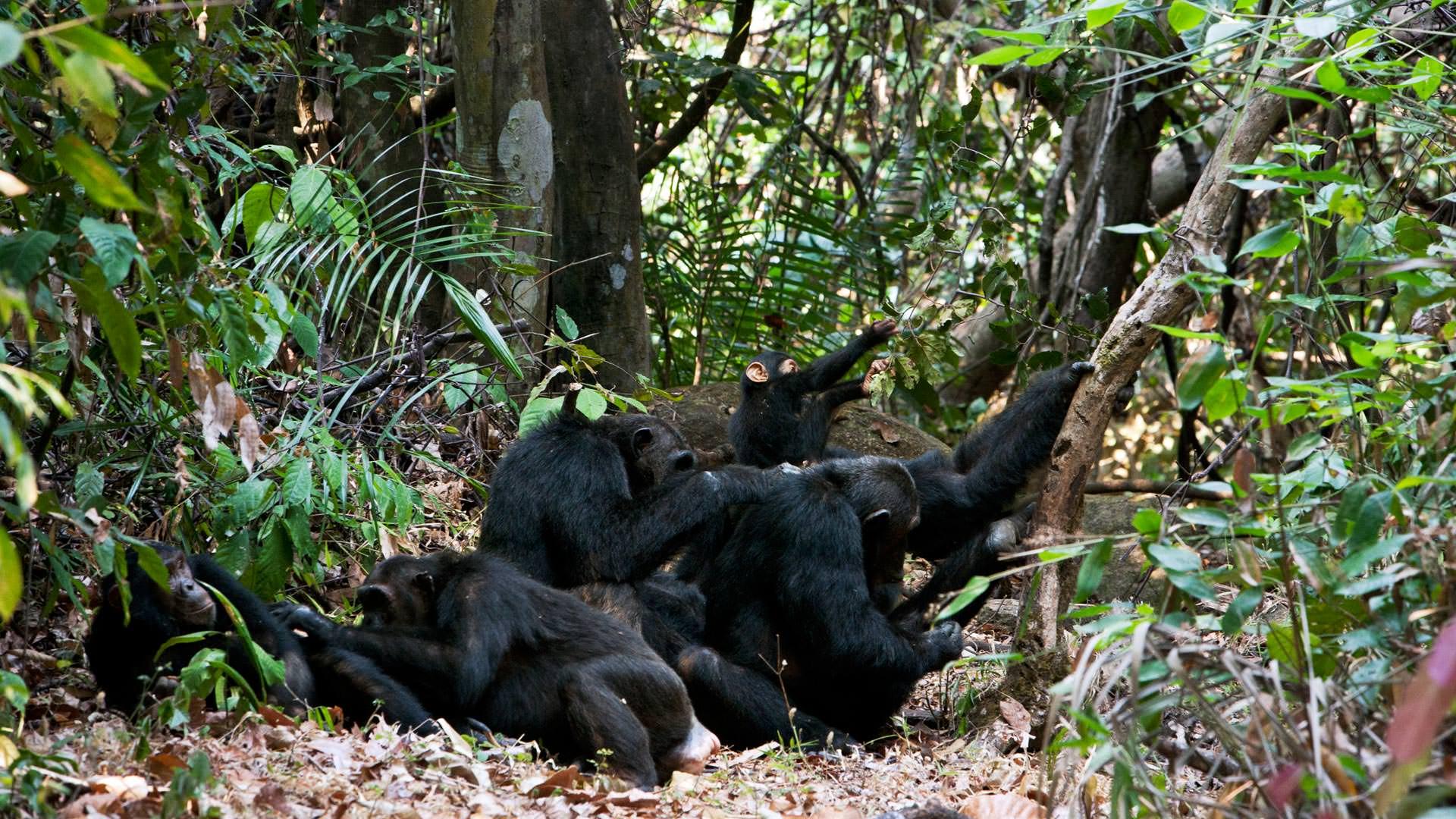 Chimpanzees at Mahale