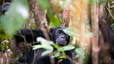 Chimpanzee at Mahale Mountains