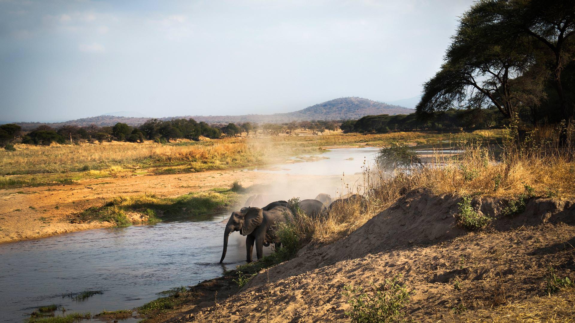 Elephants drinking in the Ruaha River