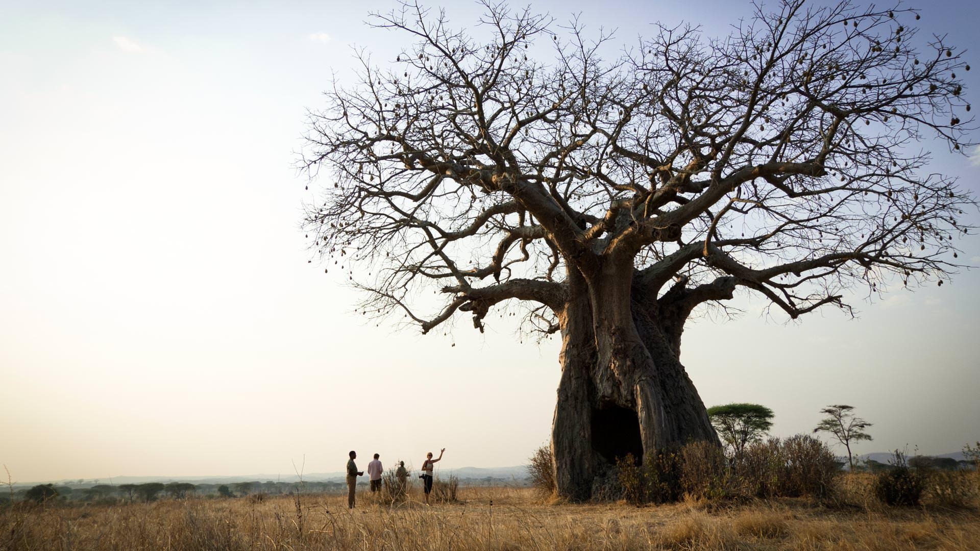 Admiring a baobab tree
