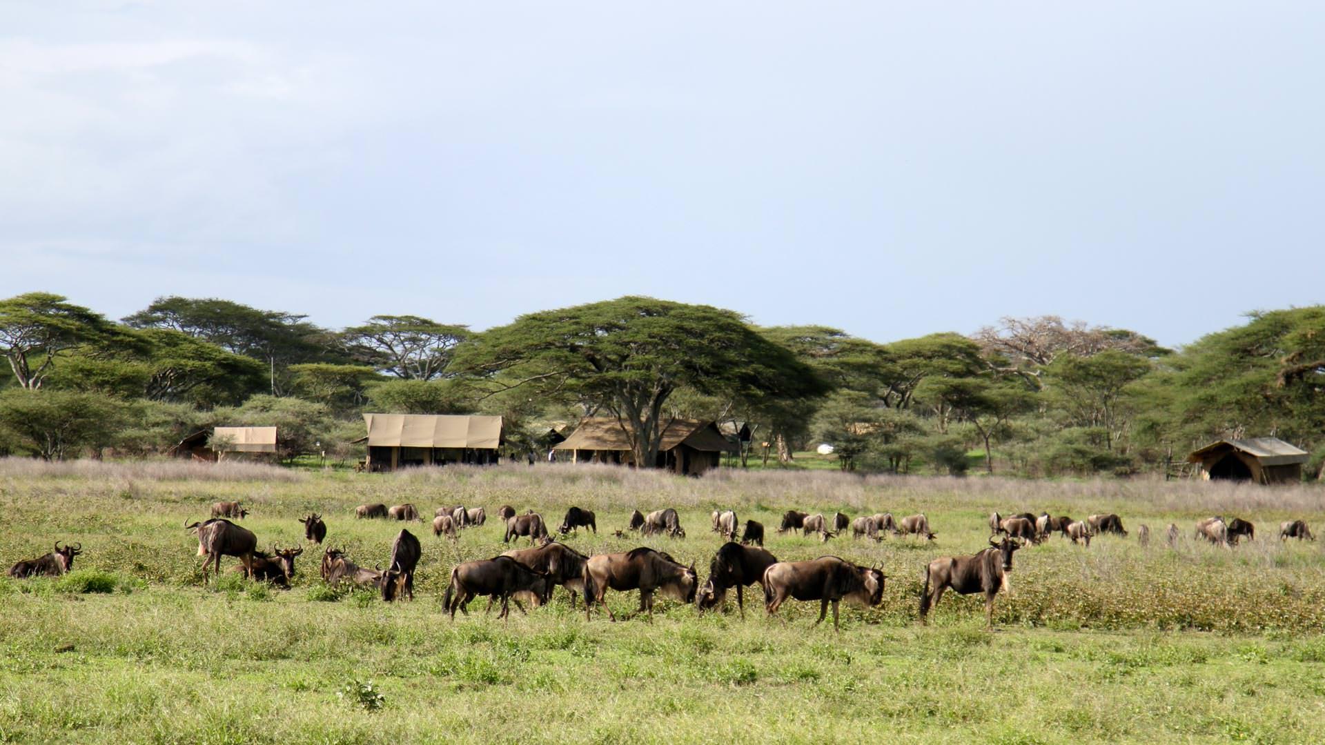 Wildebeest in front of camp