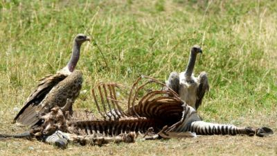 Vulture with Zebra carcass