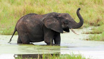 Elephant in the swamp