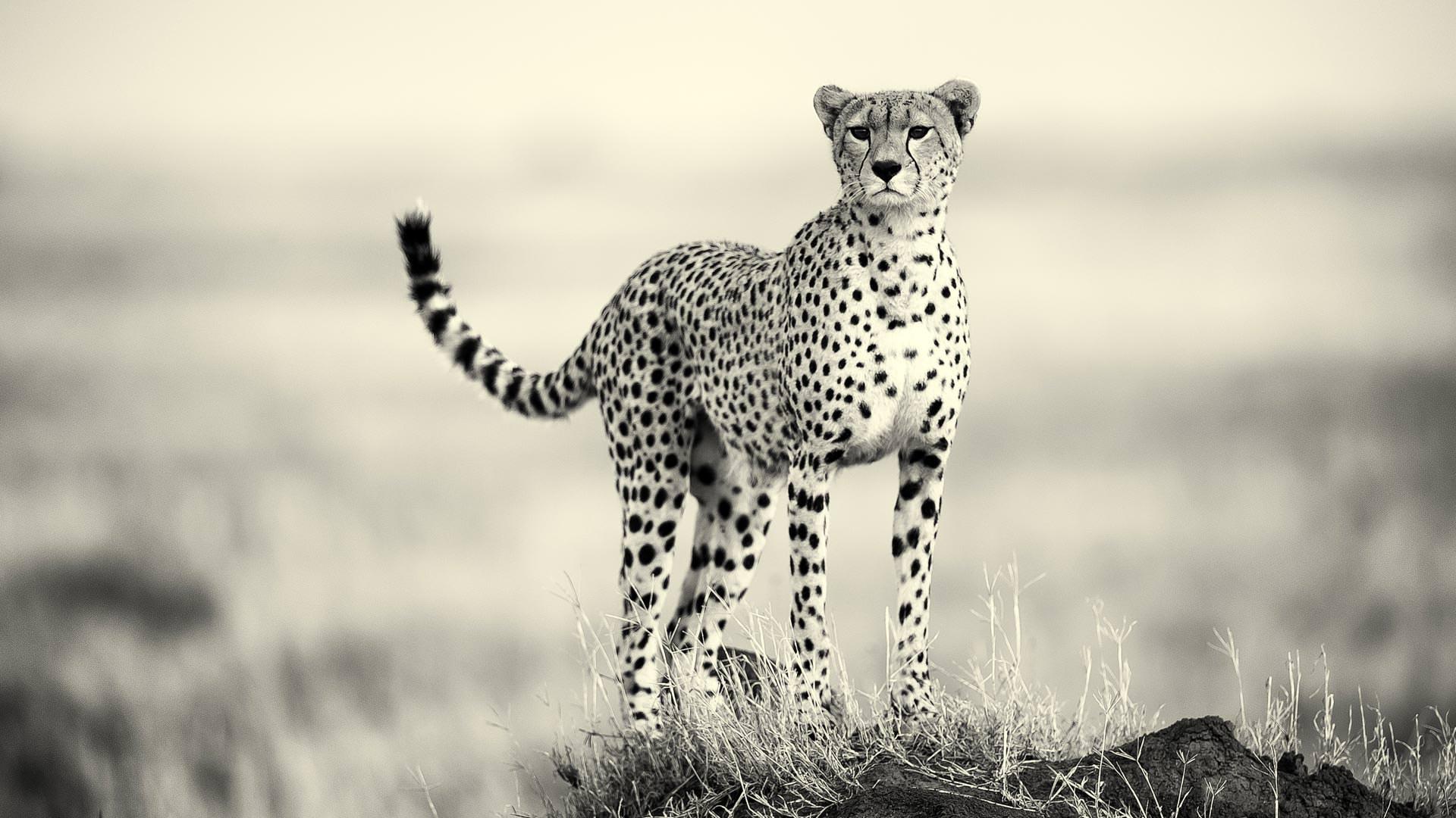 Cheetah scanning the plains
