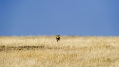 Male lion approaching