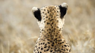 Back of a cheetah