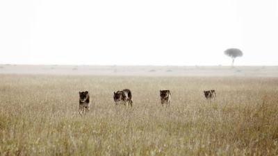 Lions on the Serengeti plains