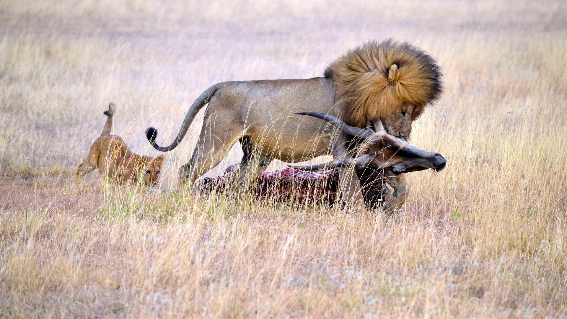Male lion with eland