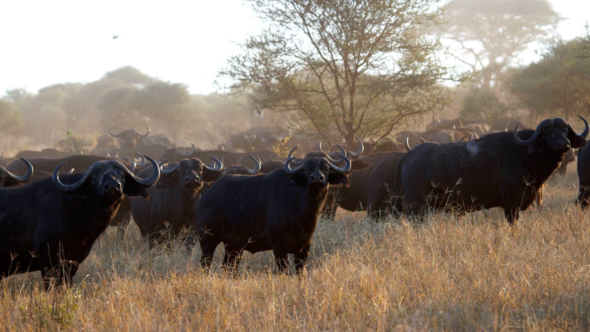Buffalo Safaris