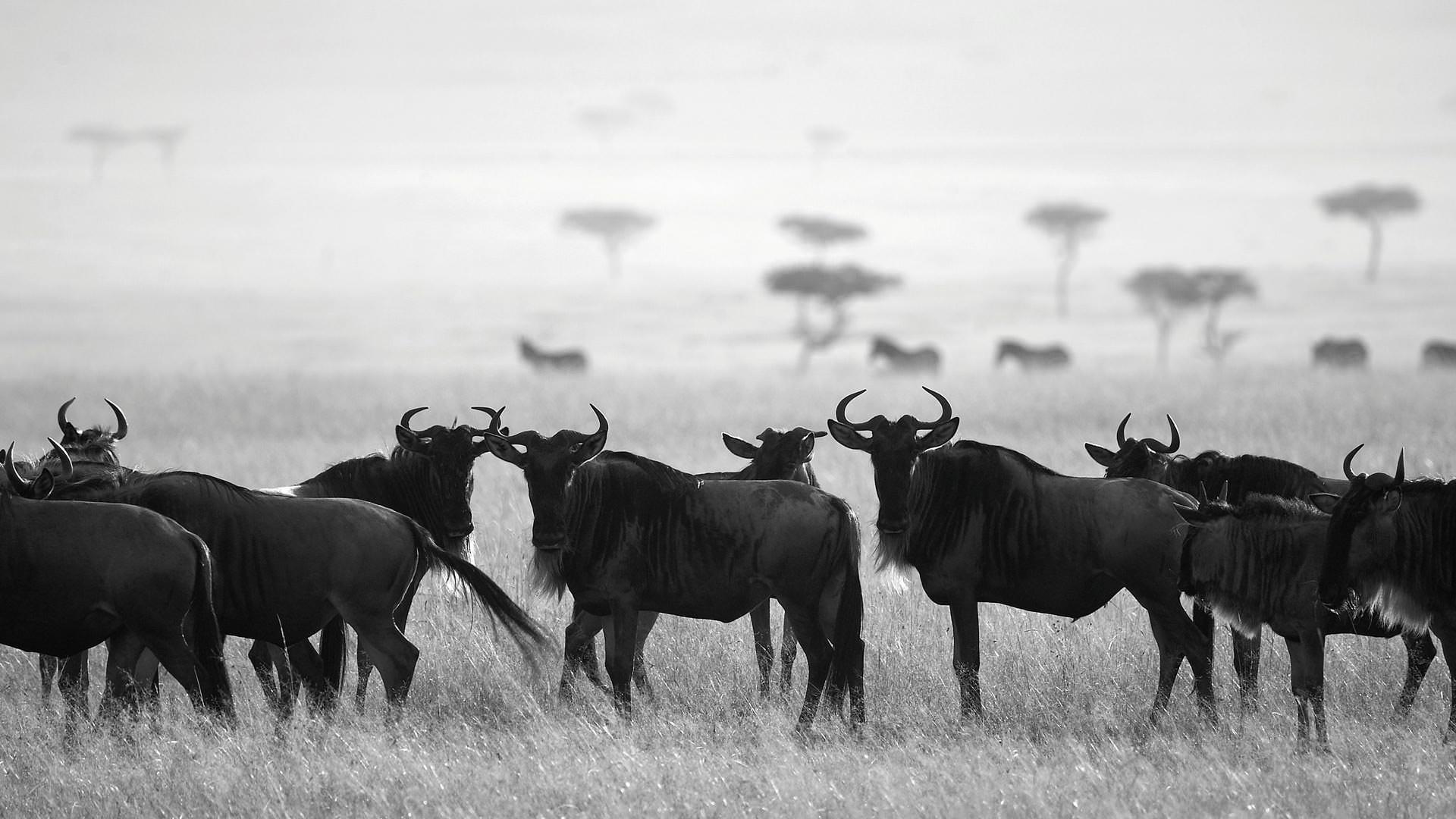 Wildebeest Safaris