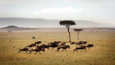 Wildebeest running across the plains