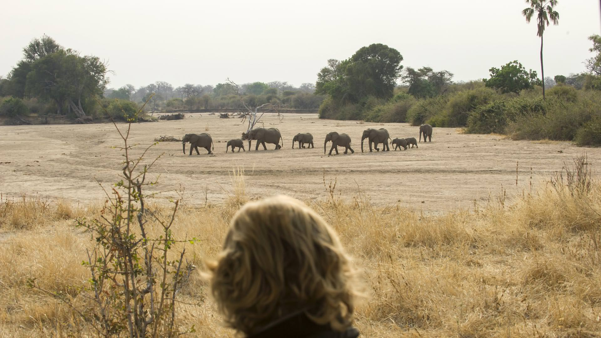 Elephants crossing sand river