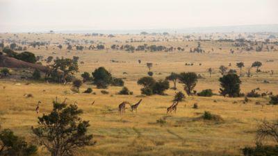 Giraffe on the Serengeti plains