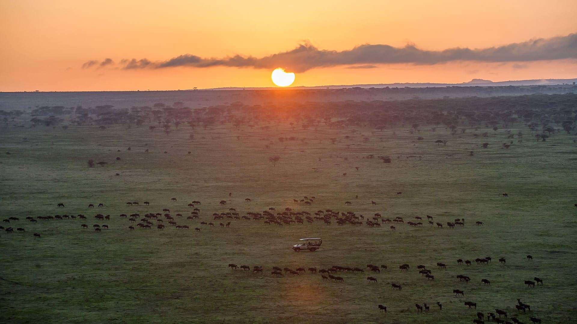 Wildebeest herds in Maswa Game Reserve