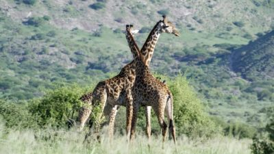 Giraffe at Lengai Camp