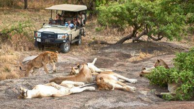Pride of lions in Maswa