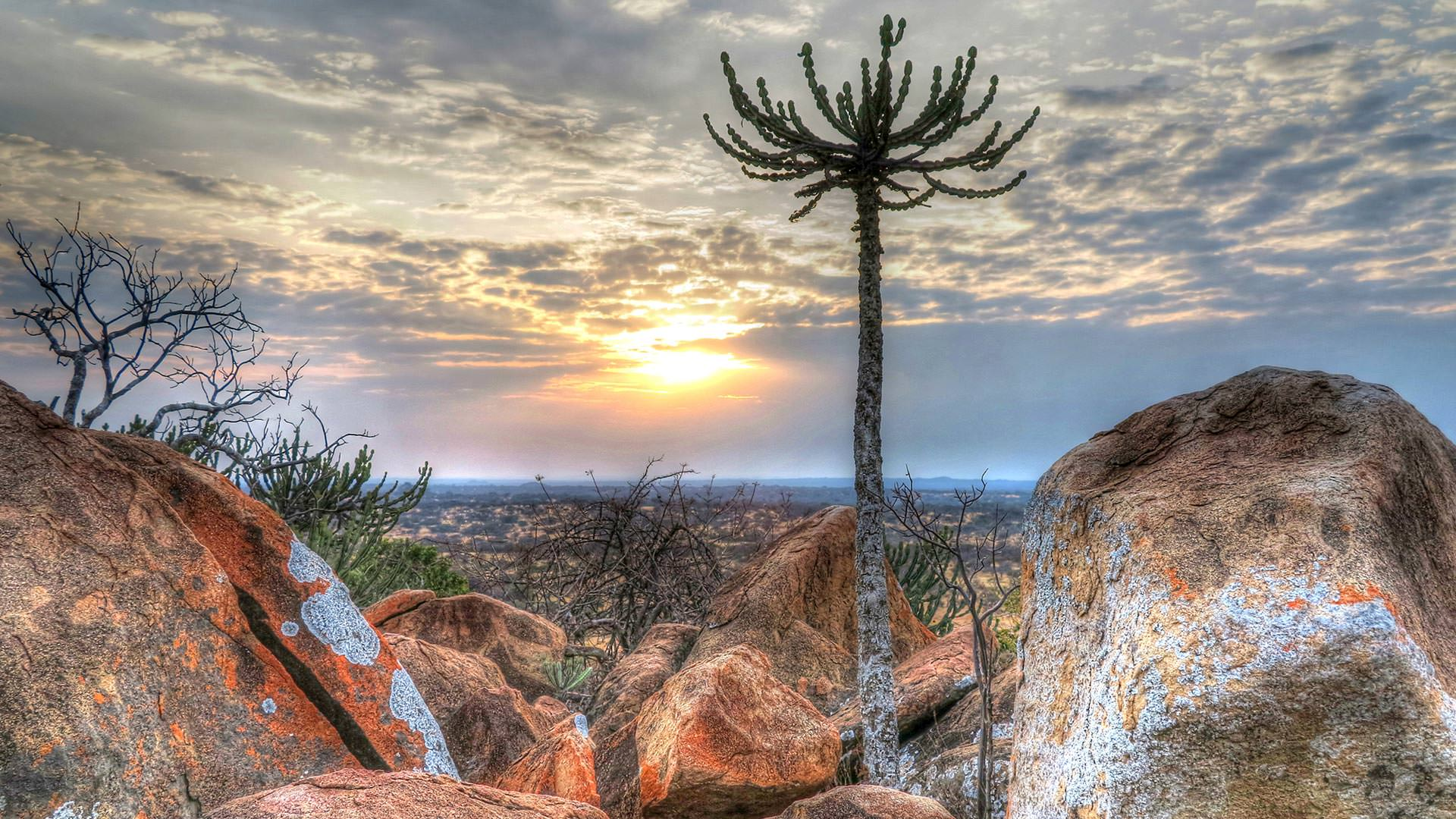 Euphorbia cactus on a rock kopje