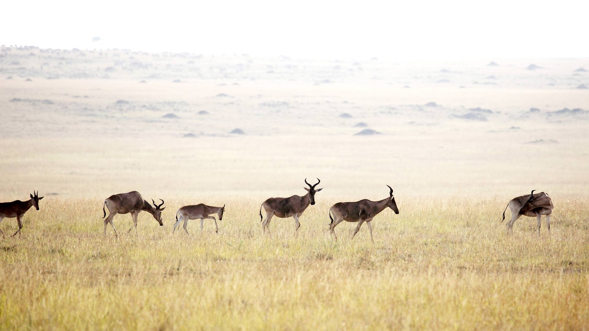 Coke's Hartebeest in Serengeti