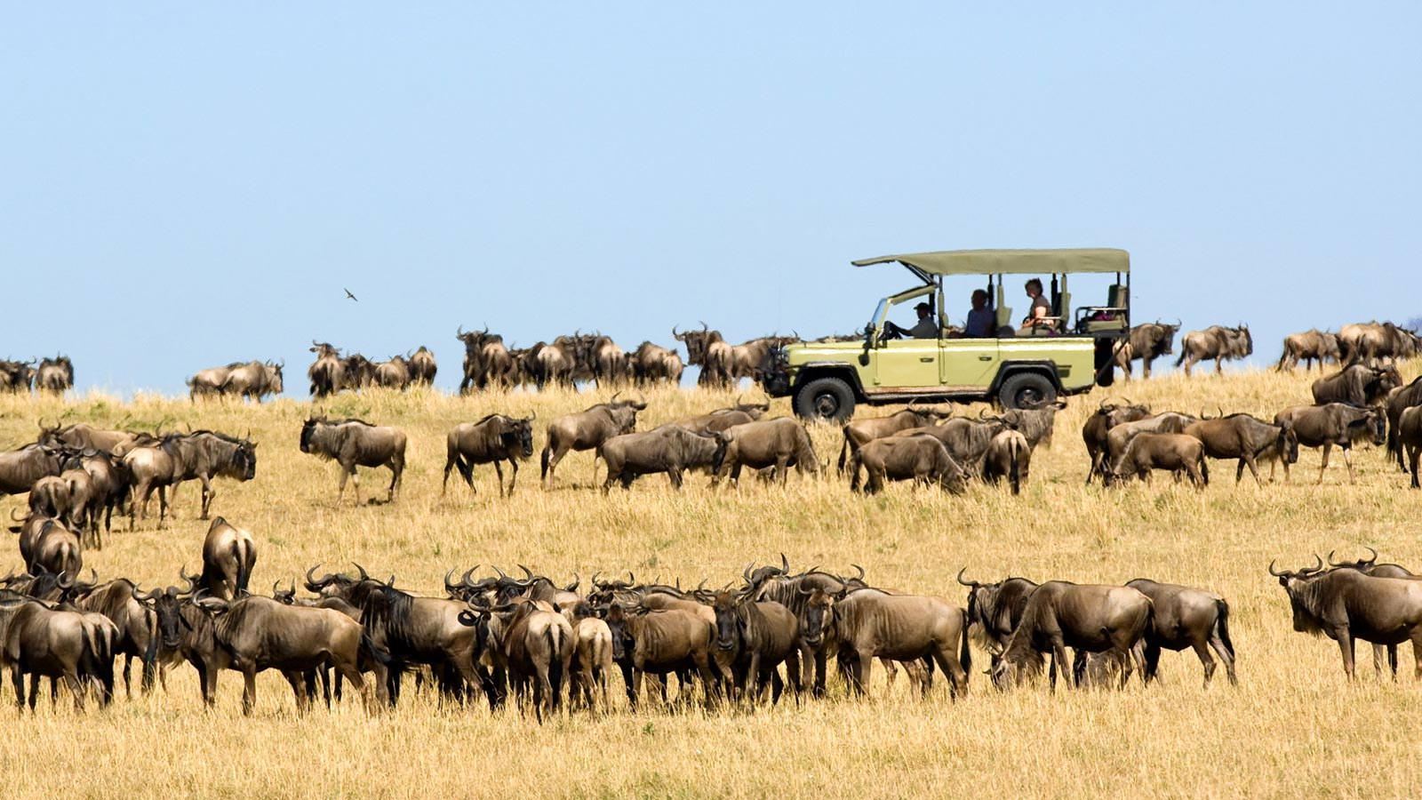 Game drive amongst Wildebeest