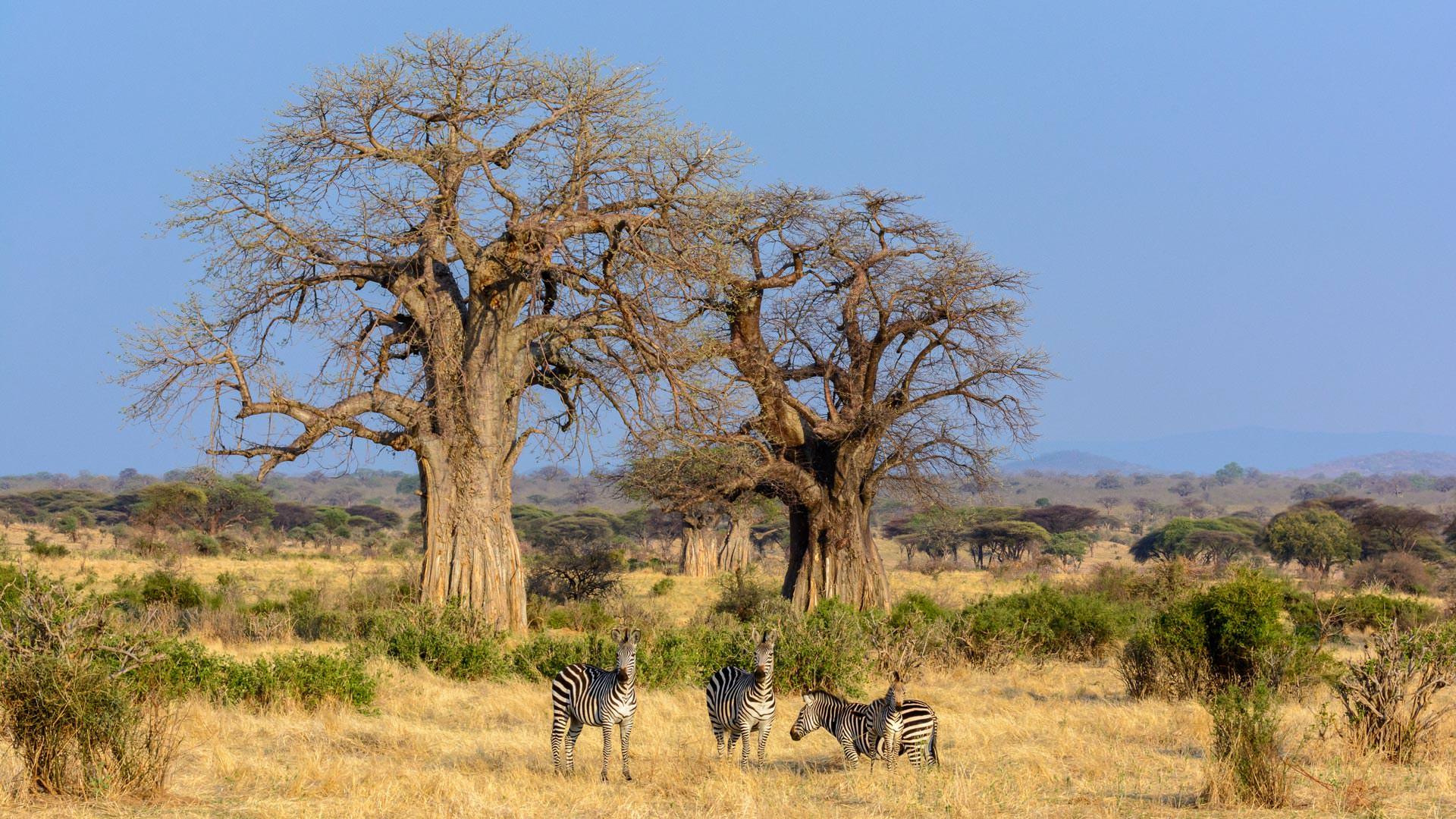 Zebra and Baobab near Jabali Ridge