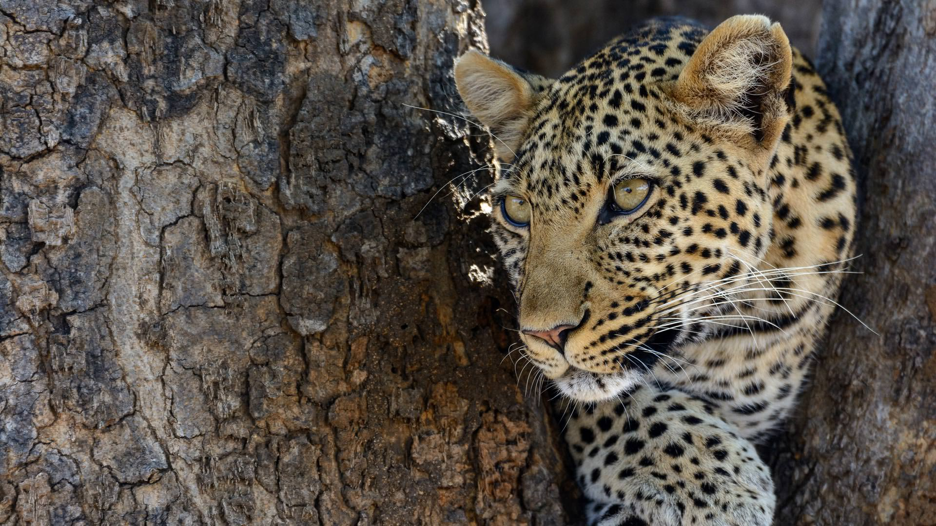 Leopard near Jabali Ridge
