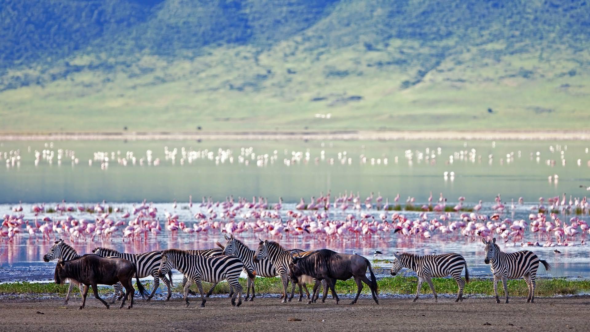 Zebra, wildebeest and flamingo in Ngorongoro Crater