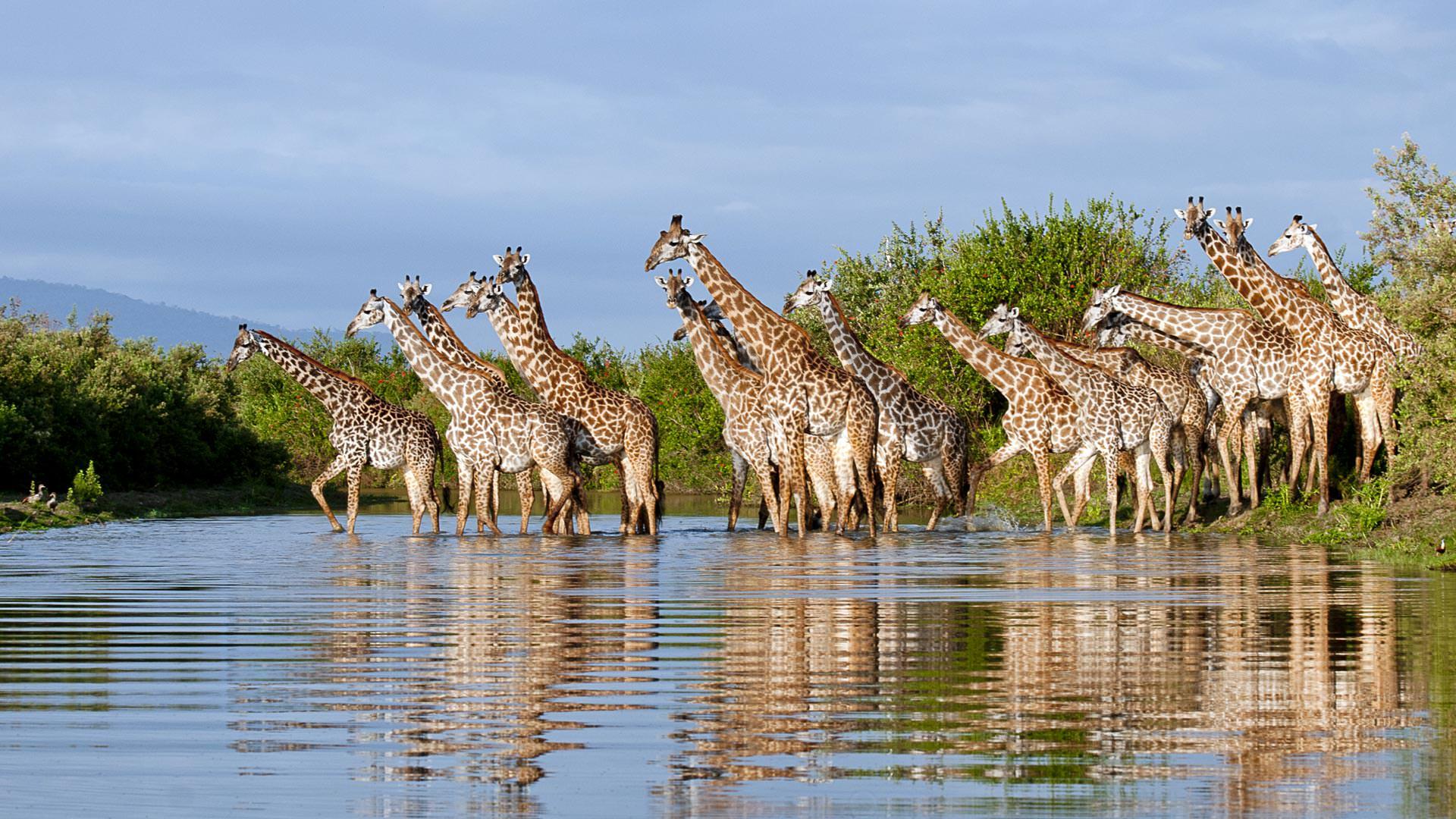 Roho ya Selous - Giraffe heading to the local spa