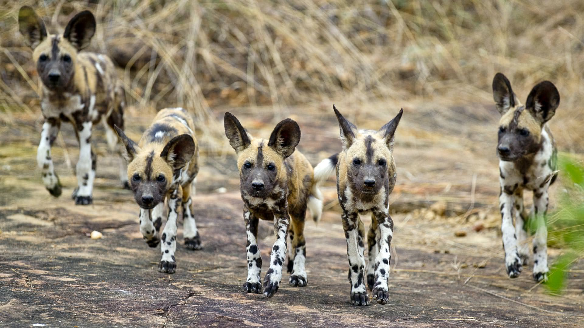 Wild dogs in Selous Game Reserve