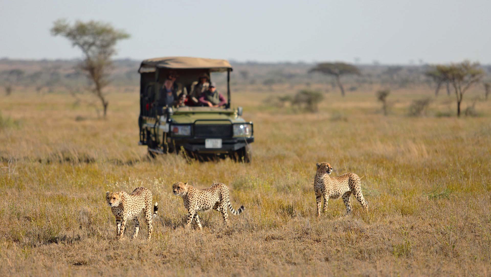 3 Cheetahs