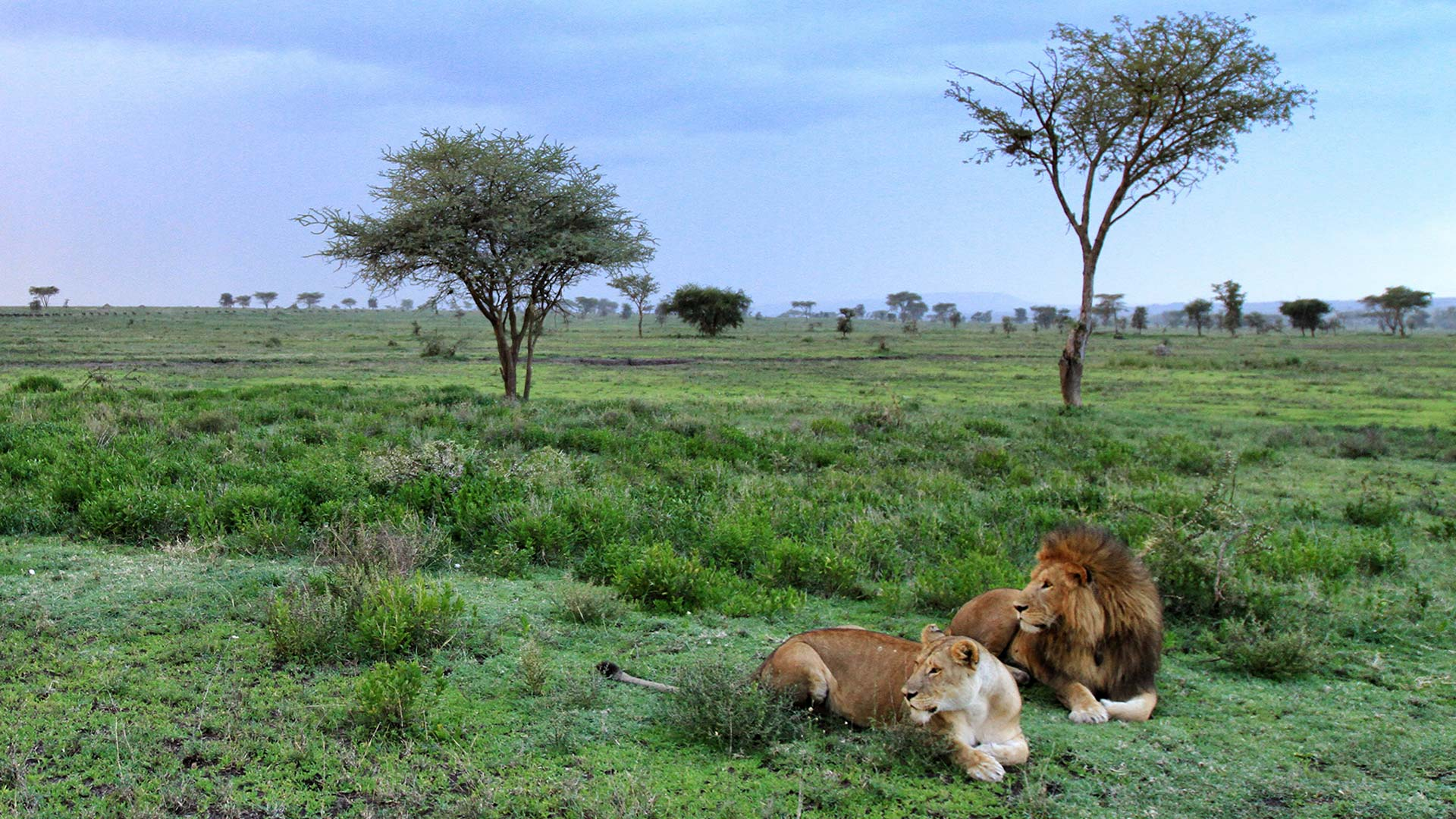Lion pair in Serengeti