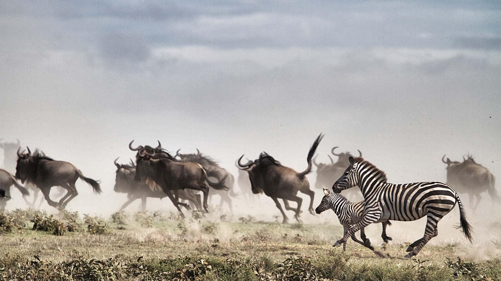 Wildebeest and Zebra running