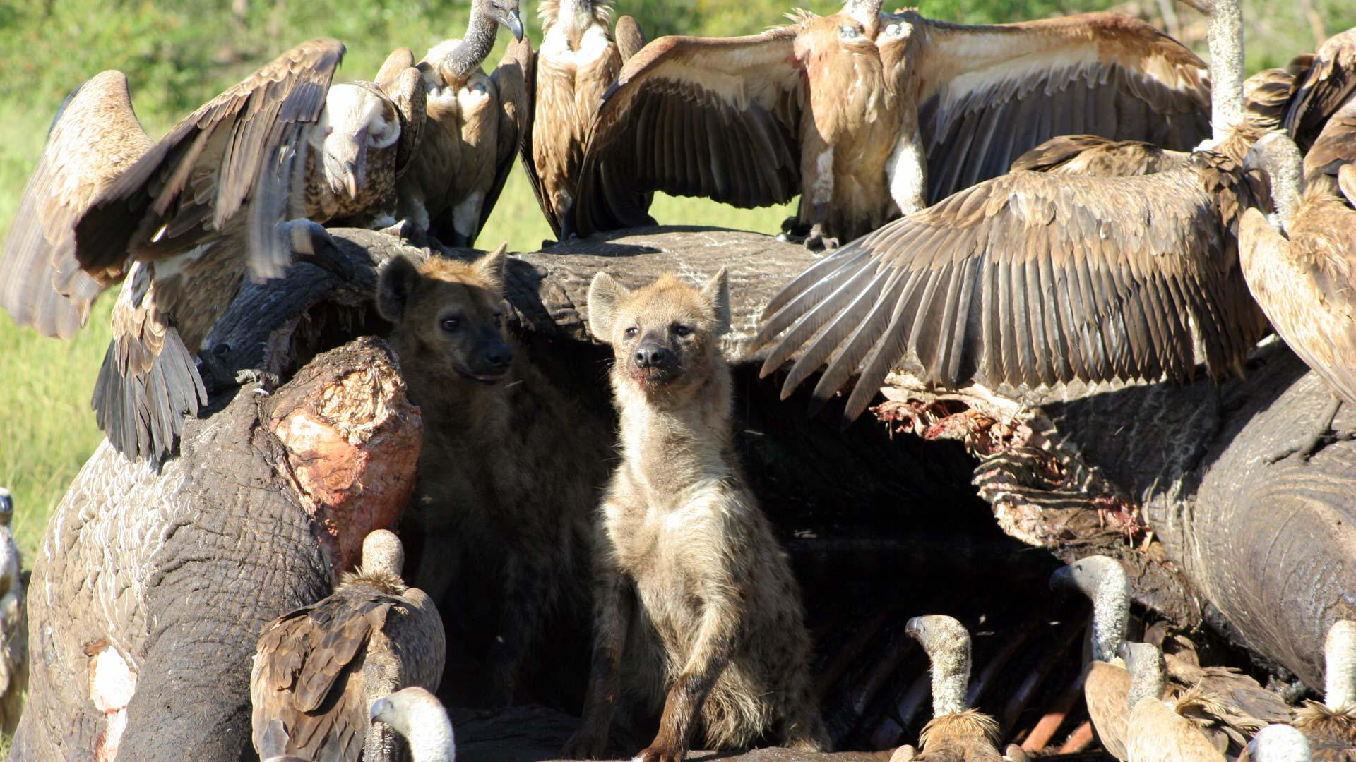 Hyena and vultures on elephant carcass