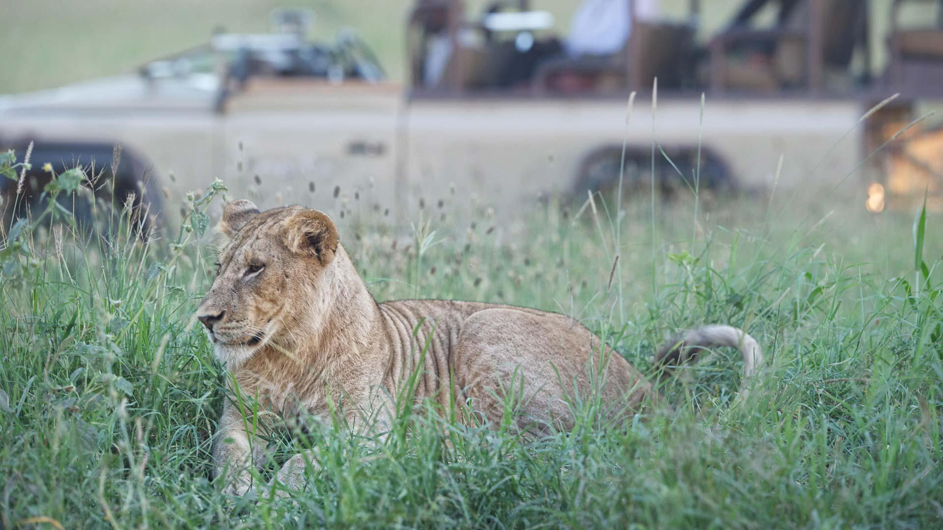 Lioness at Singita Sabora