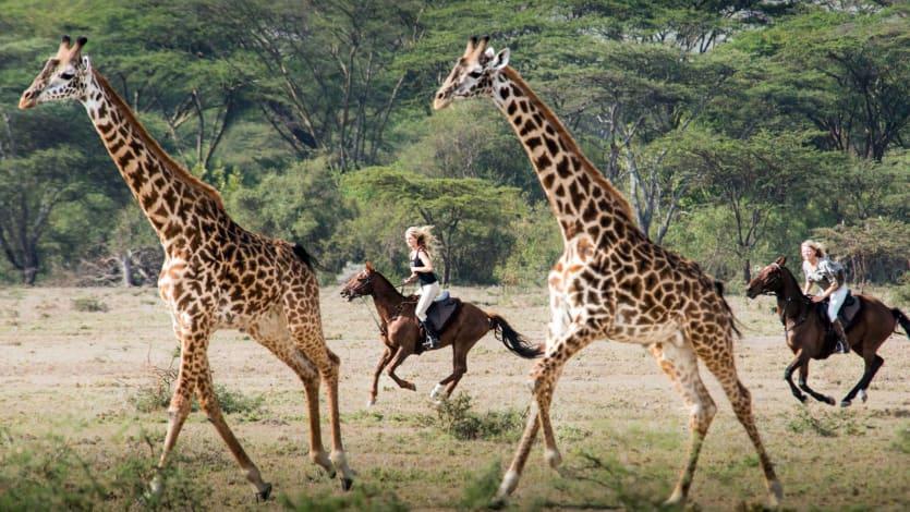 Galloping with Giraffe